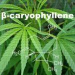 大麻草に含まれる「β(ベータ)カリオフィレン」の特徴と香りが及ぼす効能