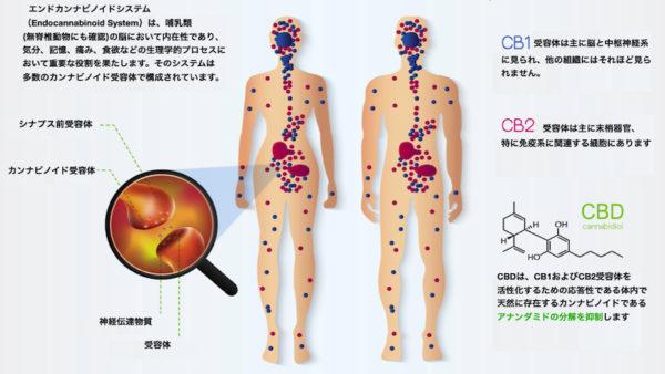 エンドカンナビノイドシステム簡易説明