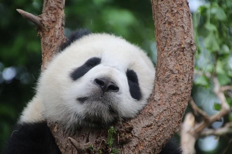 パンダ寝ているアイキャッチ画像