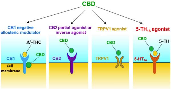 CBDが作用する機序